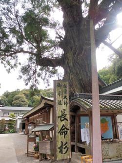 2番極楽寺の長命杉